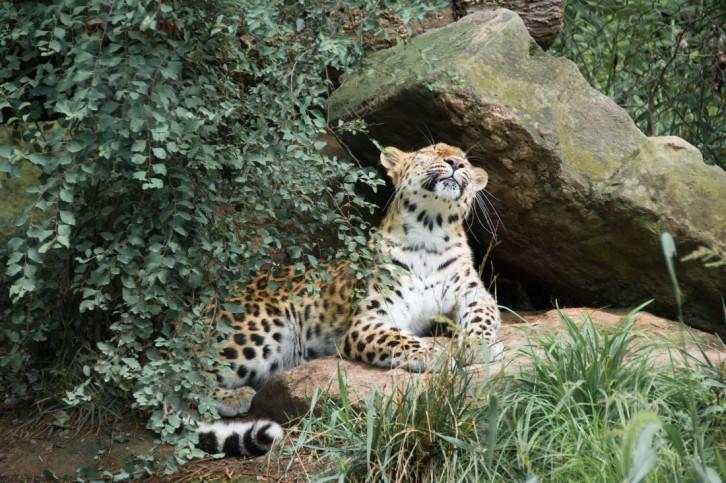 calm leopard 3