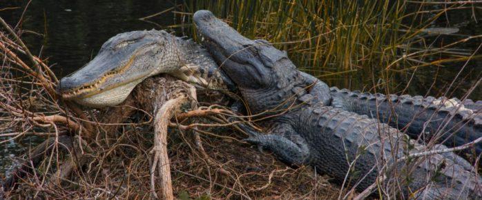 cropped-alligator-buddies-e1432004451953.jpg