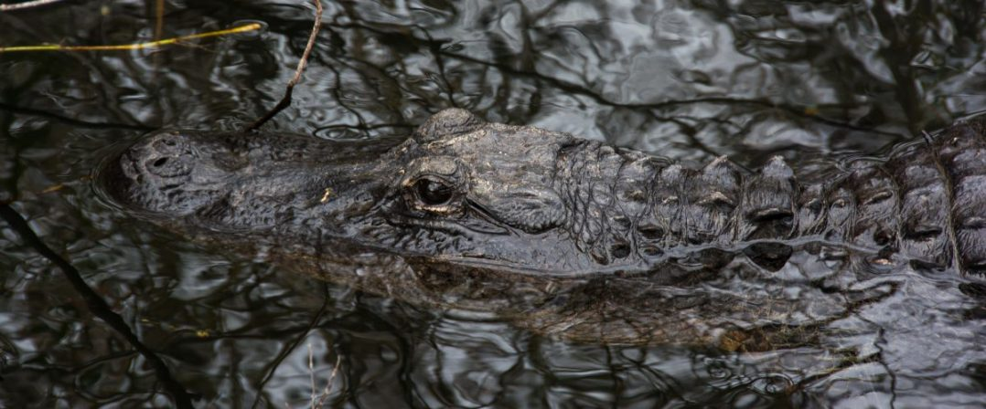 cropped-alligator-textures-e1432005001981.jpg