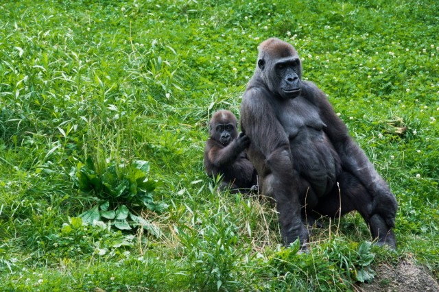 mom and baby gorilla