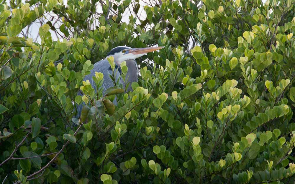 Blue Heron in green trees