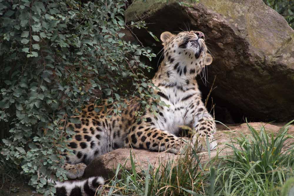 Leopards-7