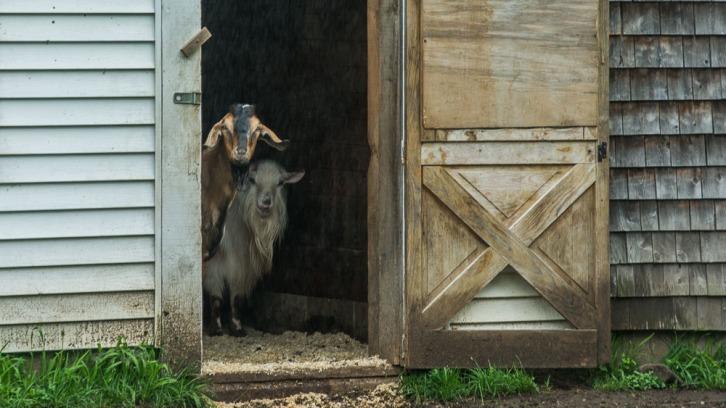 goats and rain