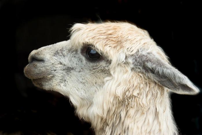 lovely llama 5