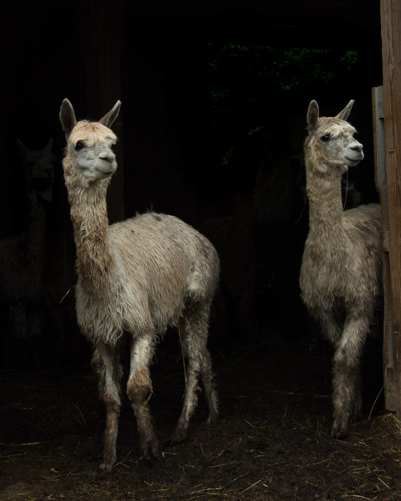 lovely llama pair