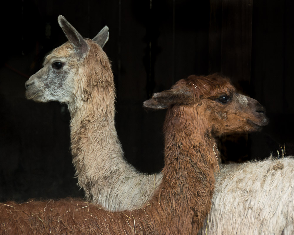 lovely twin llamas 2