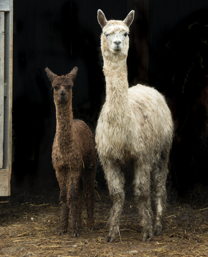 mother and daughter llama