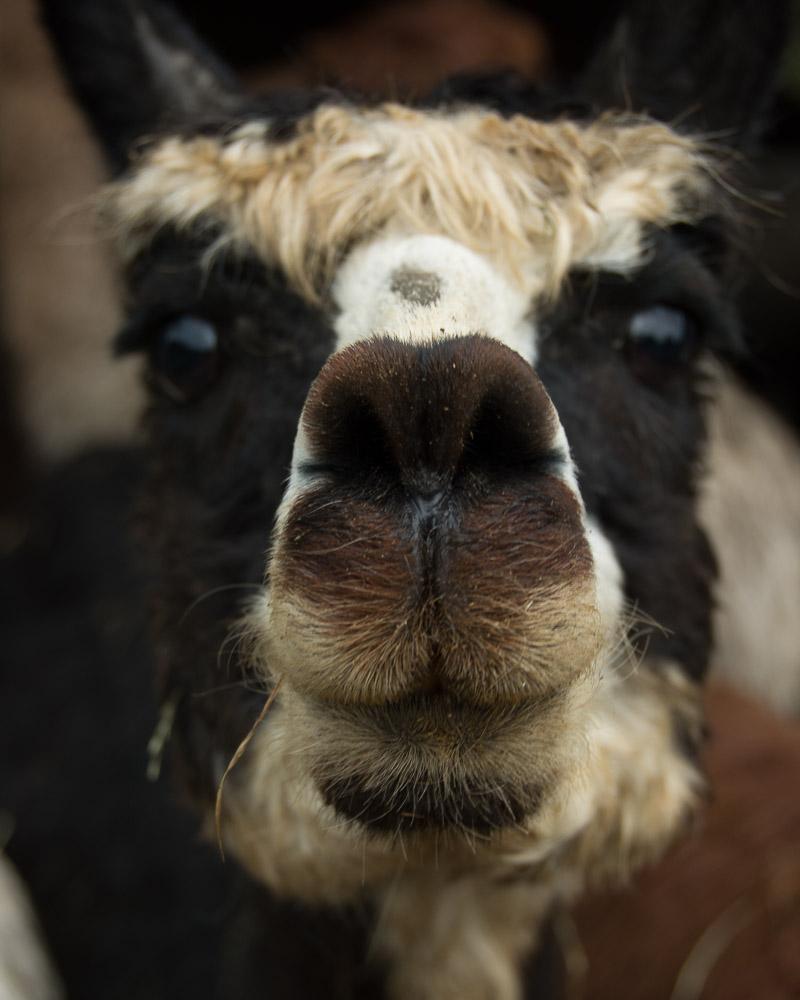 llama nose